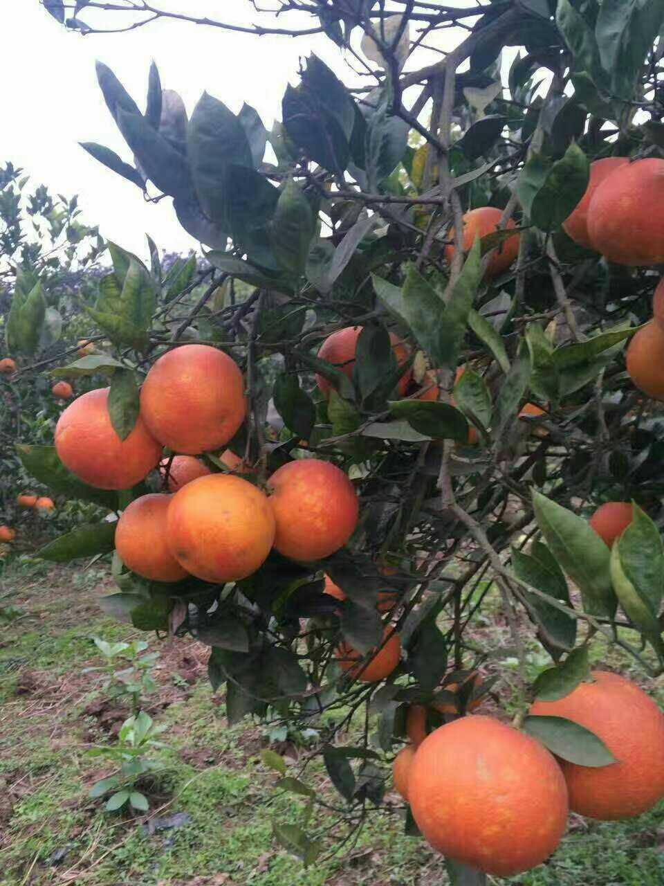 挂在树上的血橙
